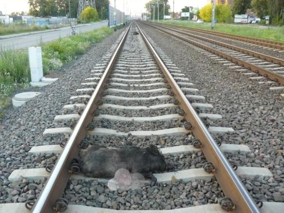 martwe dziki na torach kolejowych
