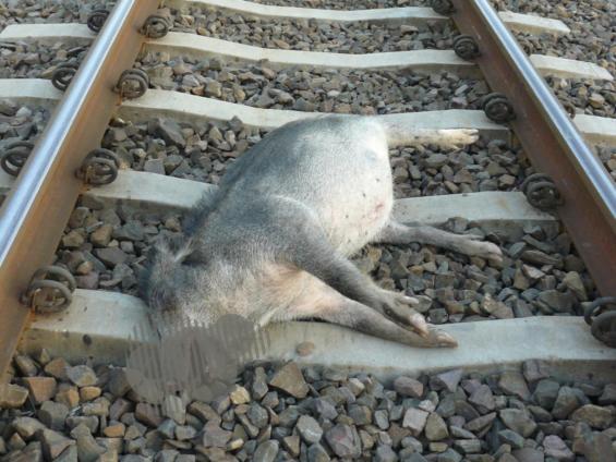 martwy dzik na torach kolejowych