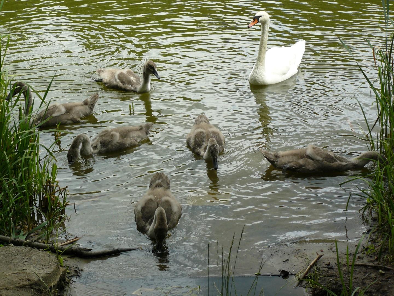 Młode łabędzie trzymają się blisko matki
