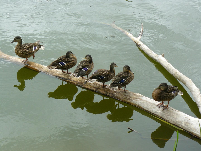 Po kąpieli kaczki