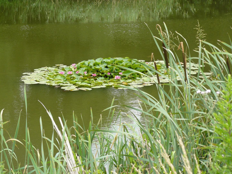 Lilie wodne na Kocich Dołach